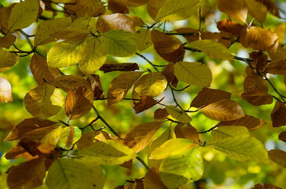 Leaves, Fall Leaves, Beech, Beech Leaves, Autumn