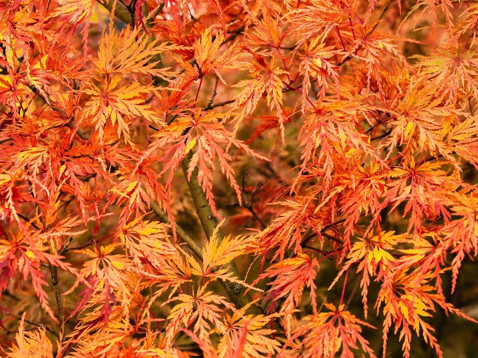 Tree, Japanese Maple, Leaves, Autumn Colours