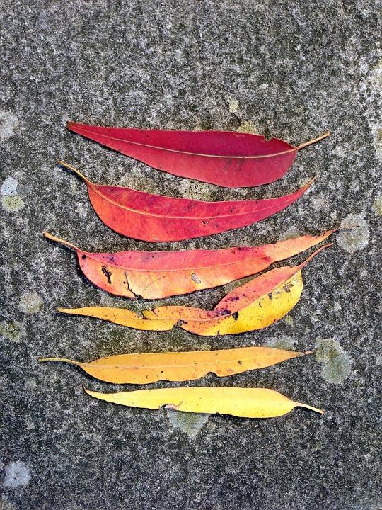 Gum Leaves, Leaves, Leaf, Gum, Red Leaf, Autumn, Fall