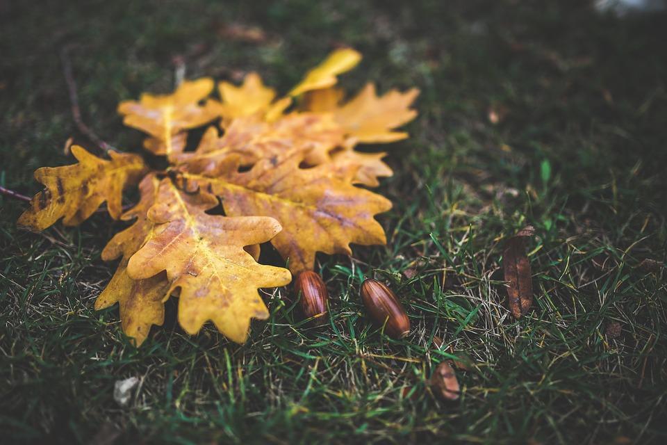 Leaves, Leaf, Oak, Acorn, Yellow, Autumn, Fall