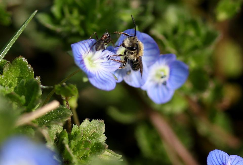 Cornflower, Bee, Insecta, Flower, Blue, Plant, Leaves