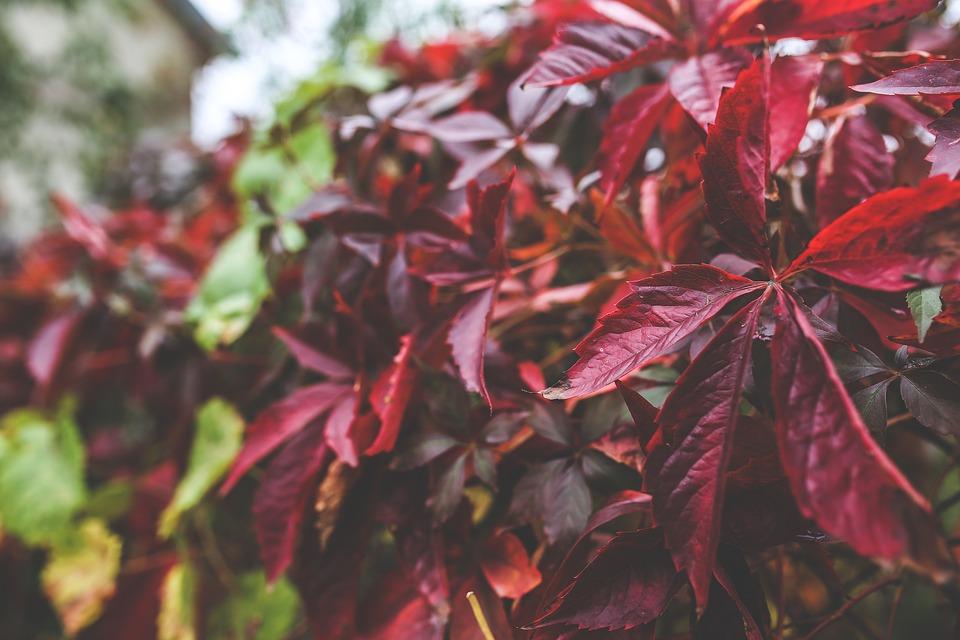 Leaves, Red, Leaf, Big, Autumn, Fall