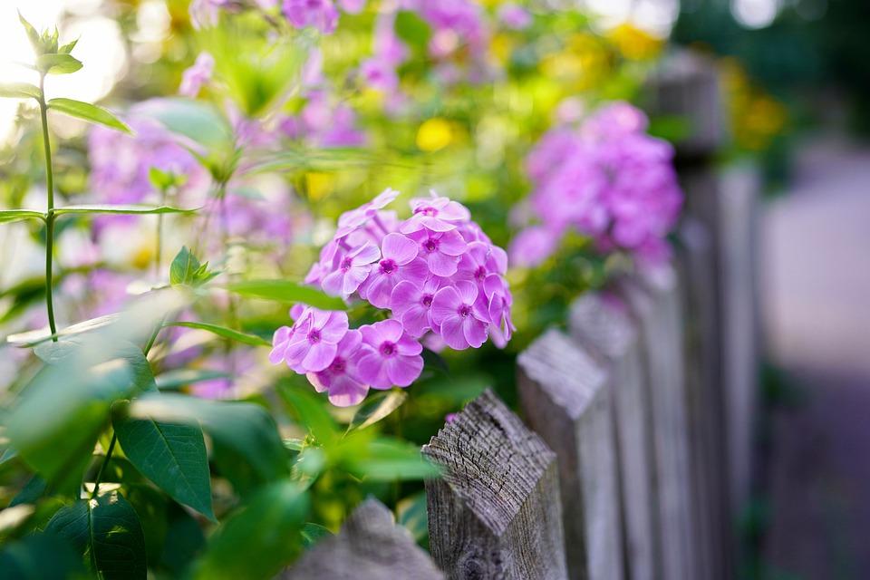 Flower, Petals, Leaves, Foliage, Blossom, Bloom, Phlox