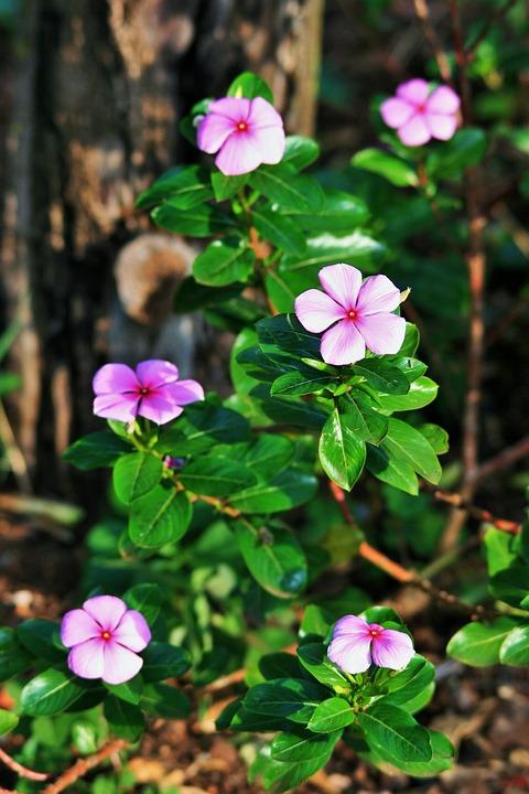 Pink Periwinkles, Flowers, Periwinkles, Leaves, Bloom