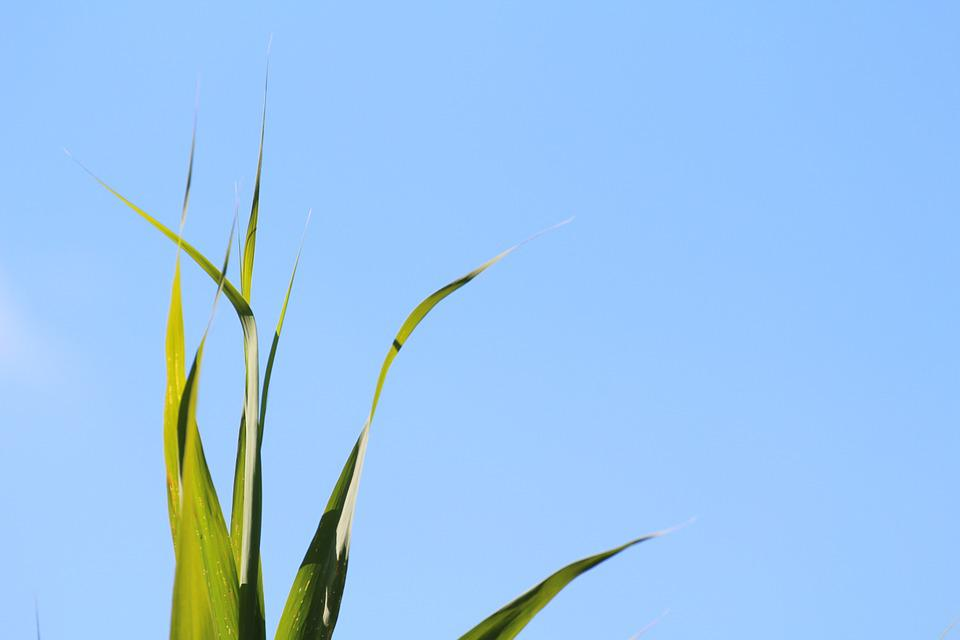 Grass, Grasses, Nature, Sky, Blue, Green, Leaves
