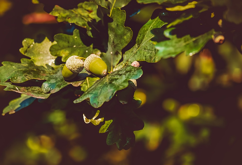 Acorns, Acorn, Oak Leaves, Tree, Branch, Leaves, Green