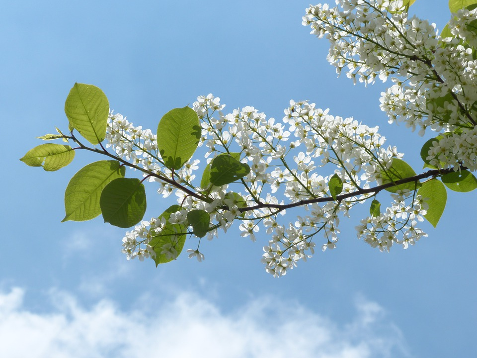 Common Bird Cherry, Leaves, Branch, Green, Flowers