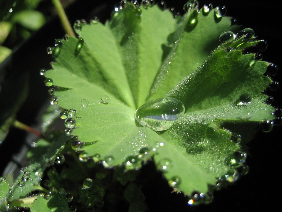 Lady's Mantle, Herb Garden, Celestial Water, Leaves