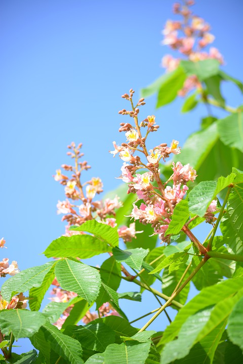 Spring, Chestnut, Tree, Sky, Blue, Green, Pink, Leaves