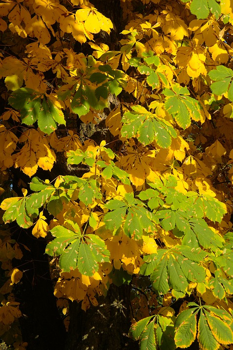 Chestnut Leaves, Autumn, Fall Color, Leaves, Tree
