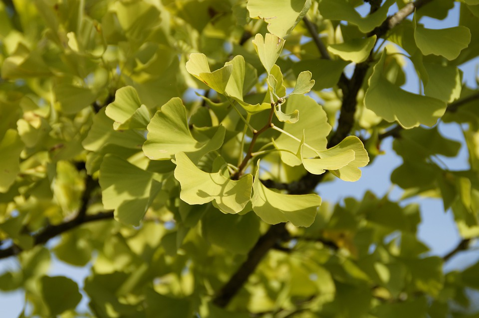 Ginko, Green, Leaves, Tree, China, Autumn, Gingko