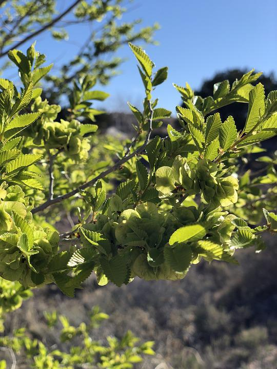 Chinese Elm Tree, Leaves, New Mexico, Trees, Southwest
