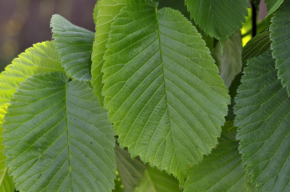 Elm, Leaves, Green, Hanging Elm, Plant, Close