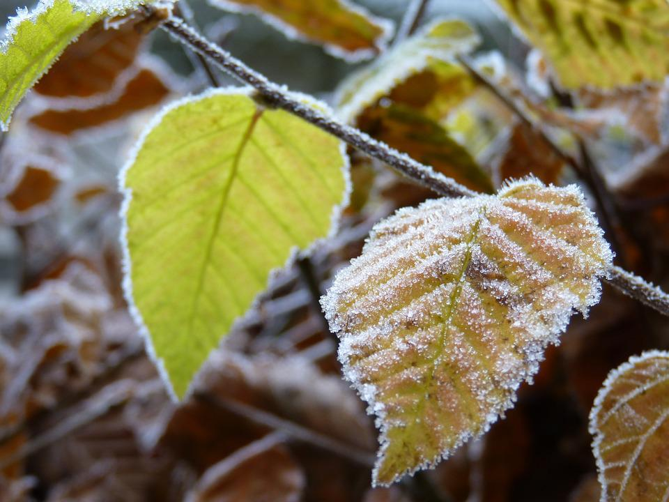 Beech, Frost, Hoarfrost, Nature, Leaves, Cold, Winter