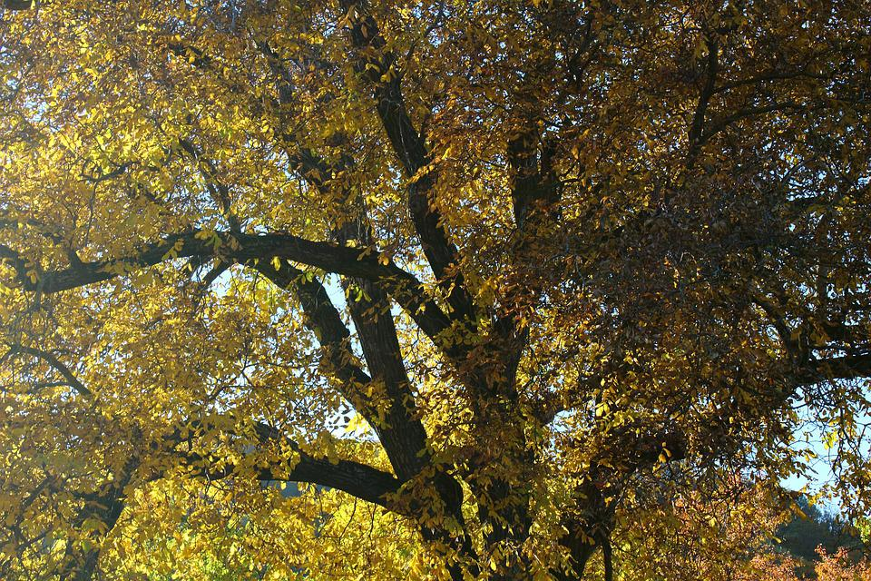Walnut, Walnut Leaves, Leaves, Colored Leaves