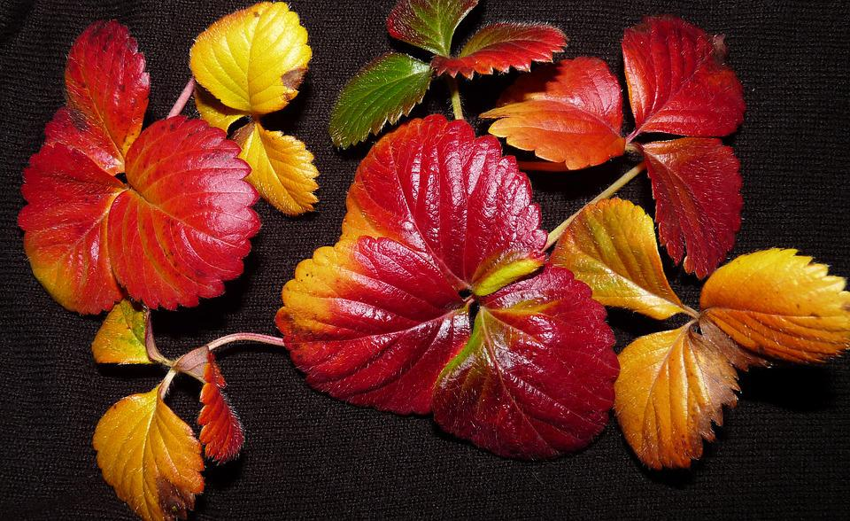 Leaves, Strawberry, Autumn, Fall, Colour