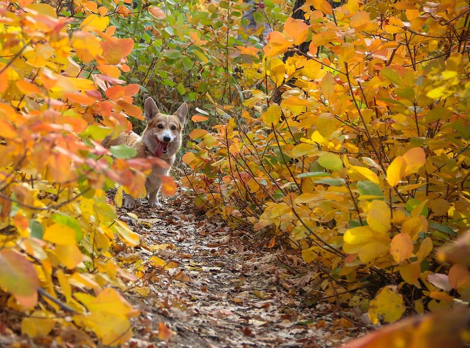 Corgi, Dog, Autumn, Leaves, Pet, Animal, Cute, Doggy