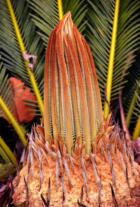 Cycad, Plant, New Growth, Flora, Leaves, Garden