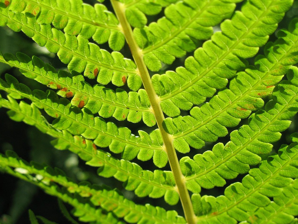 Fern, Macro, Green, Leaf, Stem, Leaves, Flora, Detail