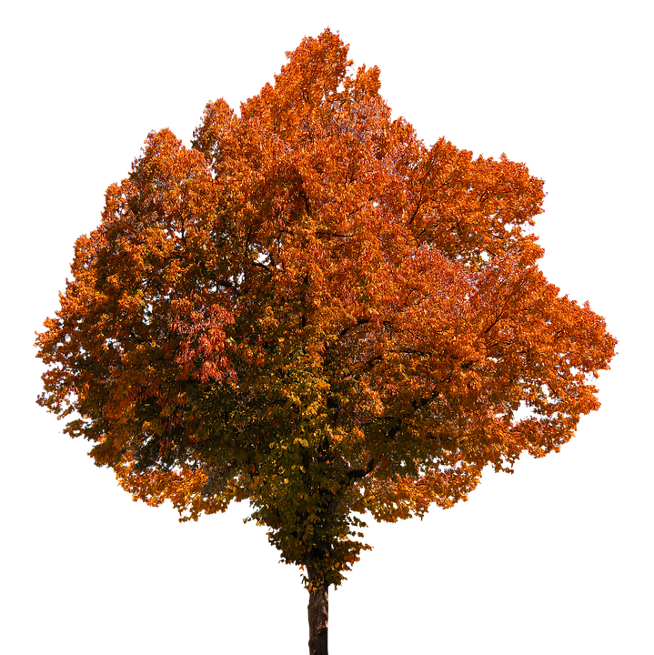 Autumn, Tree, Leaves, Color, Fall Foliage, Png, Oranges