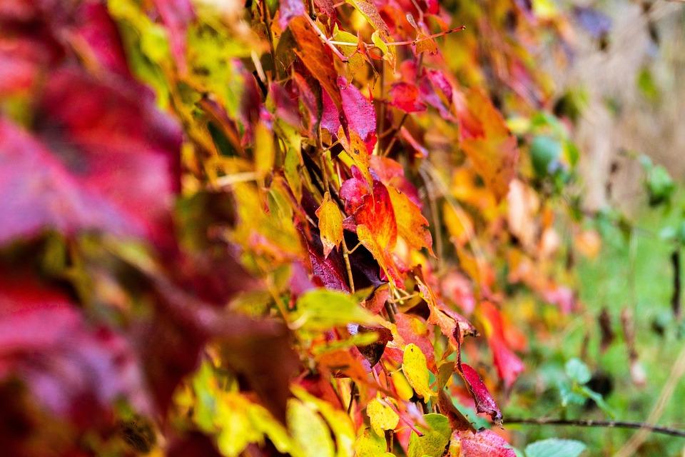 Autumn, Fall Color, Leaves, Ivy, Fall Foliage, Nature