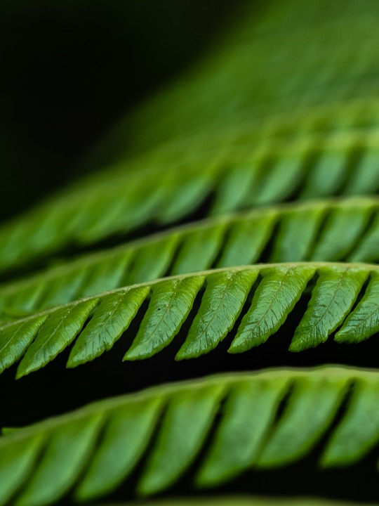 Fern, Green, Plant, Leaves, Leaf
