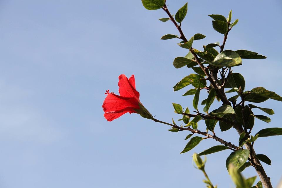 Flower, Red, Leaves, Branch