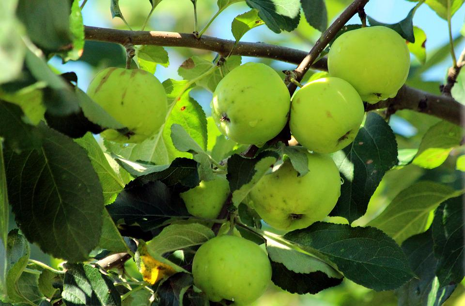 Apples, Branch, Fruit, Nature, Leaves, Food, Outdoors