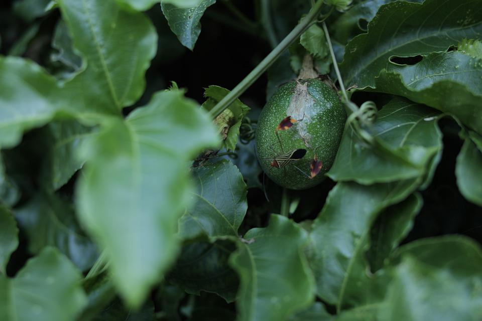 Leaves, Foliage, Fruit, Plants, Green, Nature, Forest