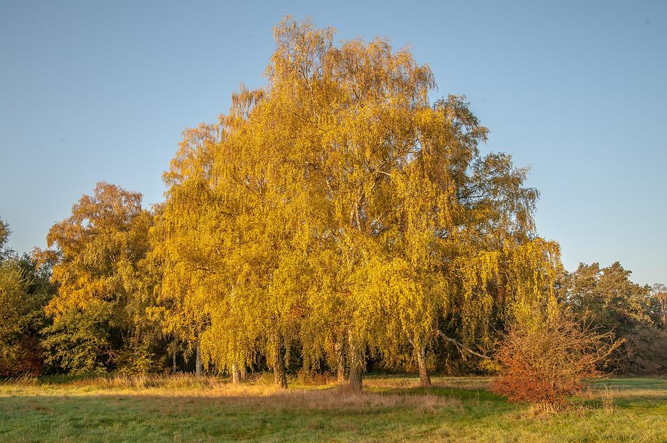 Autumn, Birch, Deciduous Tree, Leaves, Golden