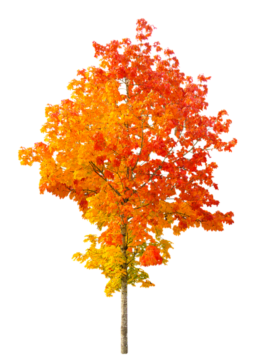 Nature, Autumn, Tree, Fall Foliage, Leaves, Golden, Red