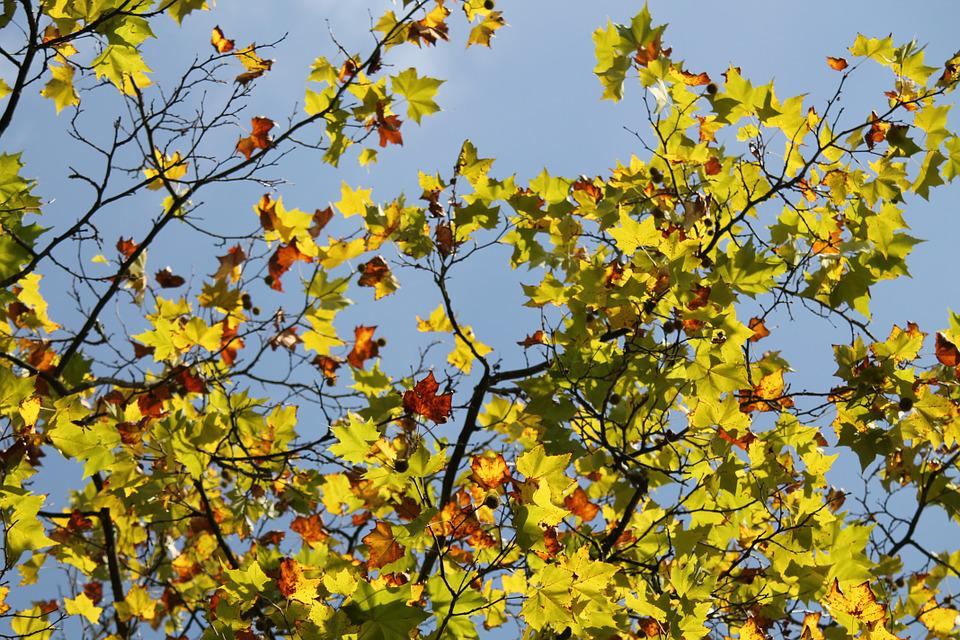 Fall Foliage, Autumn, Sun, Leaves, Golden, Nature