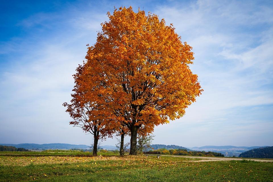 Tree, Autumn Tree, Golden Tree, Leaves, Brown Leaves