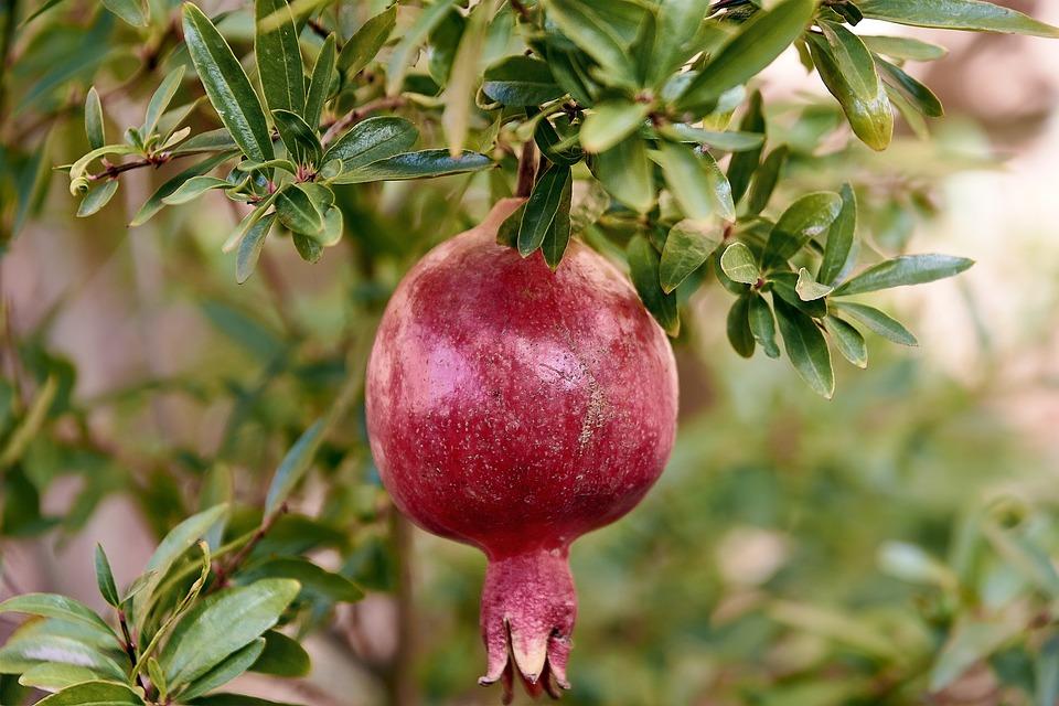 free photo leaves granada red fruit exotic tree max pixel