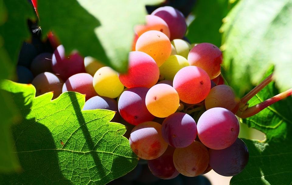 Fruit, Grapes, Harvest, Vineyard, Leaves, Organic
