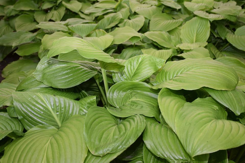 Shadow Lilies, Hosta Plantaginea, Green, Shadow, Leaves