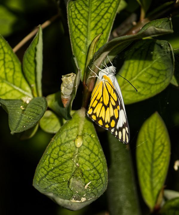 Pioneer White Butterfly, Butterfly, Leaves, Insect