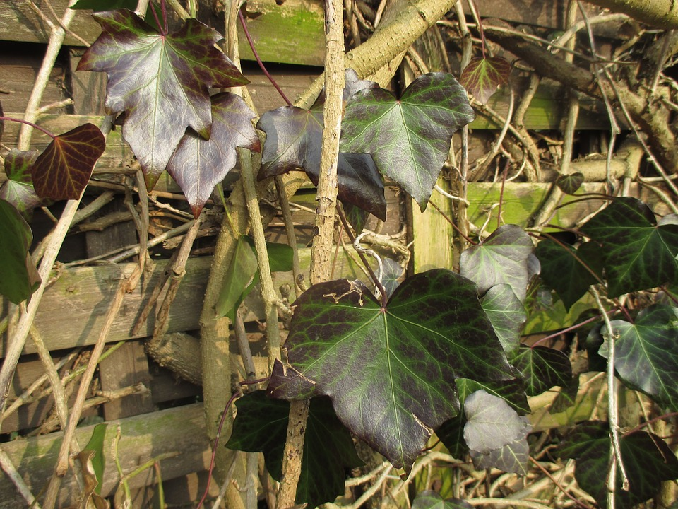 Ranke, Ivy, Climber, Leaves, Nature, Wall, Green Plant
