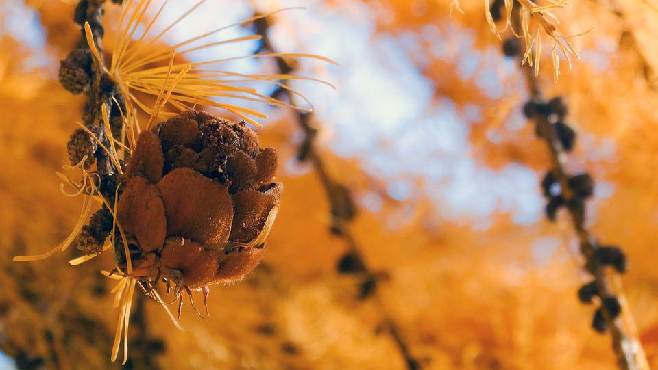 Autumn, Leaf, Leaves, Larch Cone, Needles, Sun, Clear