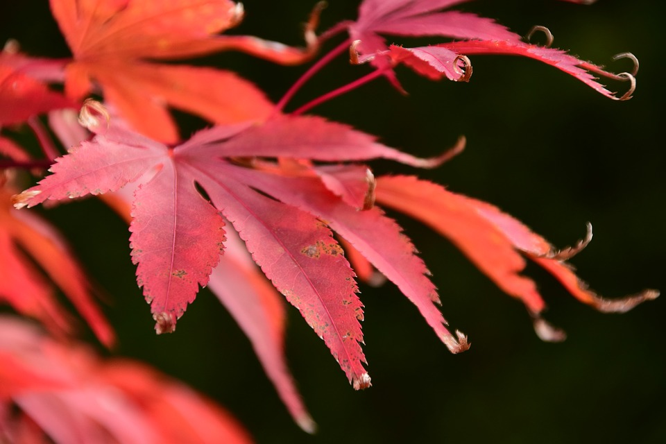 Maple, Red, Autumn, Leaves, Nature, Leaf