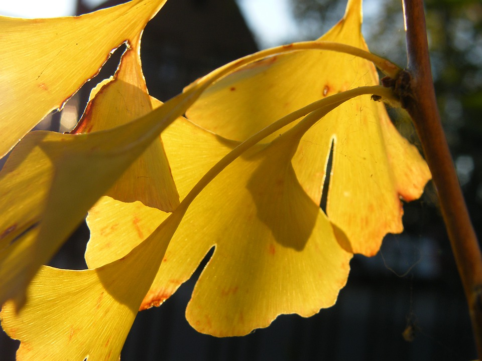 Gingko, Leaf, Leaves, Autumn, Colorful, Decoration