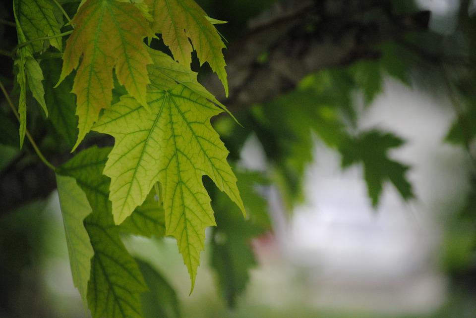 Leaves, Green, Tree, Nature, Leaf, Summer, Spring
