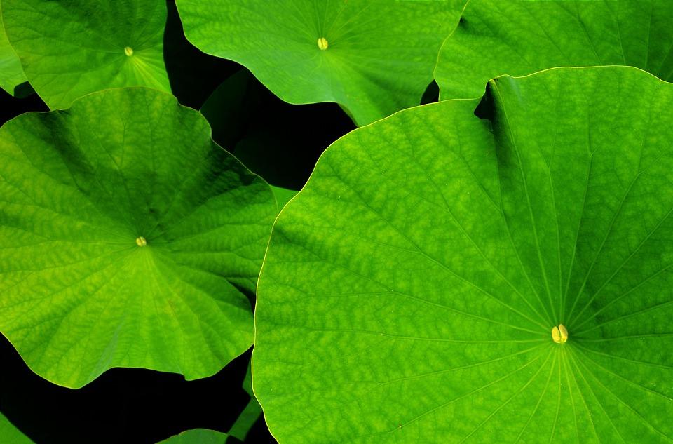 Giant Leaf, Lotus, Lotus Leaf, Botanical Garden, Leaves