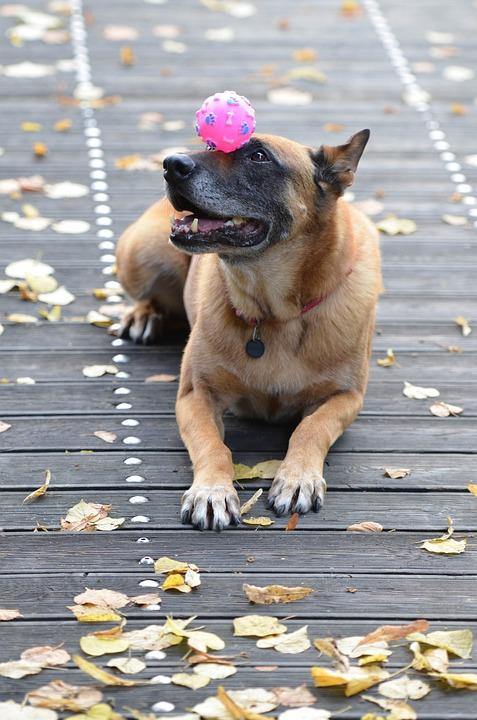 Malinois, Belgian Shepherd Dog, Leaves, Autumn