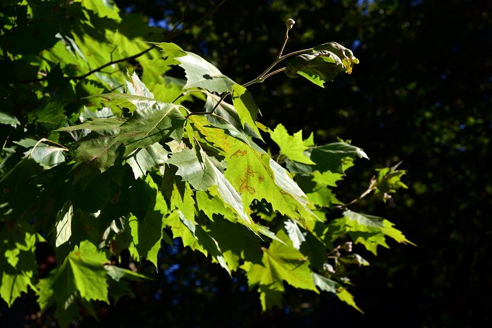 Maple, Leaves, Maple Leaves, Green, Sunlight, Bright