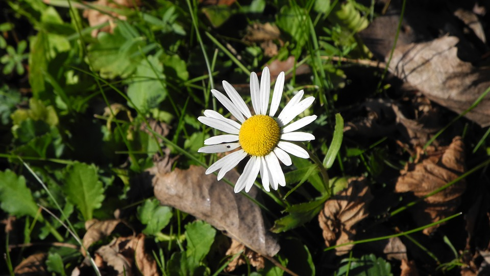 Daisy, Meadow, Leaves, Spring, Nature, Wildflowers