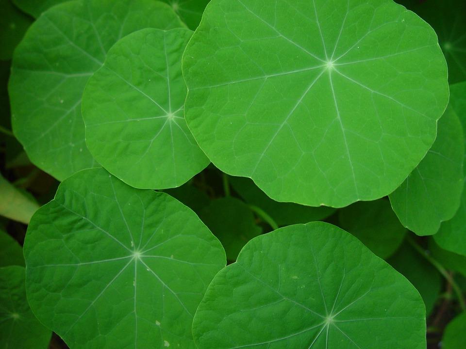 Nasturtium, Leaves, Leaf, Landscapes, Nature