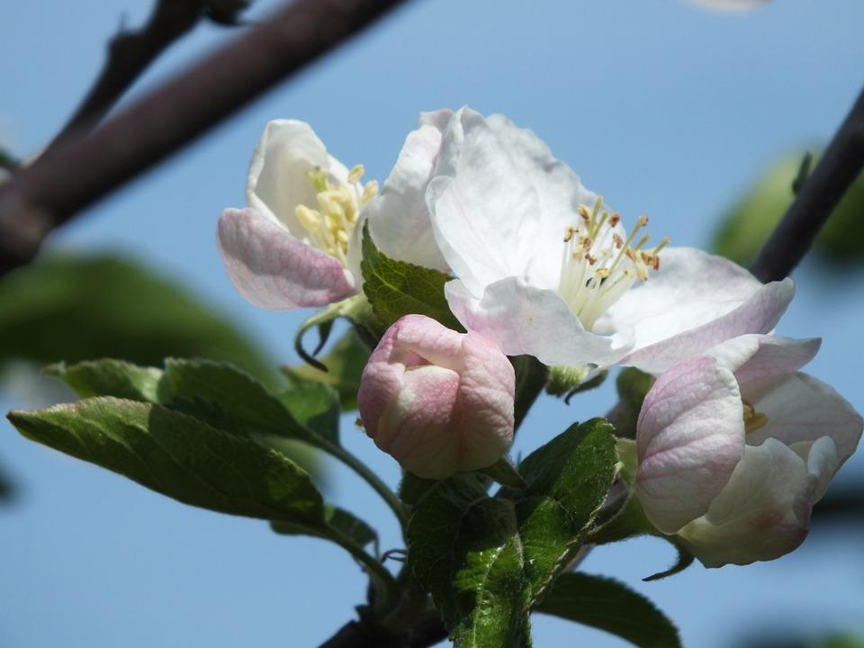 Apple Tree, Nature, Fruit, Apple, Leaves, Branch