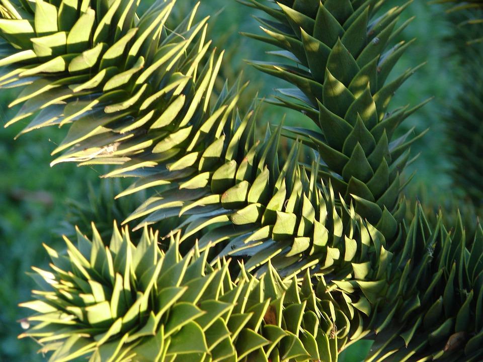 Araucaria, Plant, Tree, Evergreen, Leaves, Nature