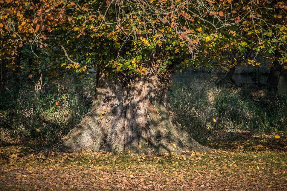 Autumn, Leaves, Tree, Old, Colorful, Nature